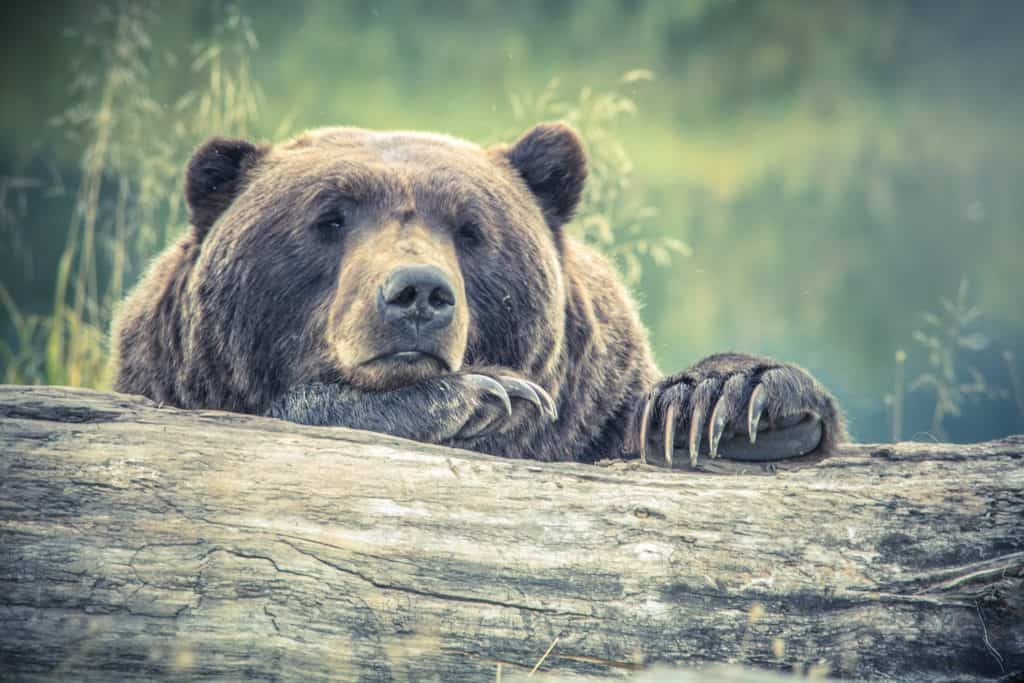Photo of a bear looking sleepy