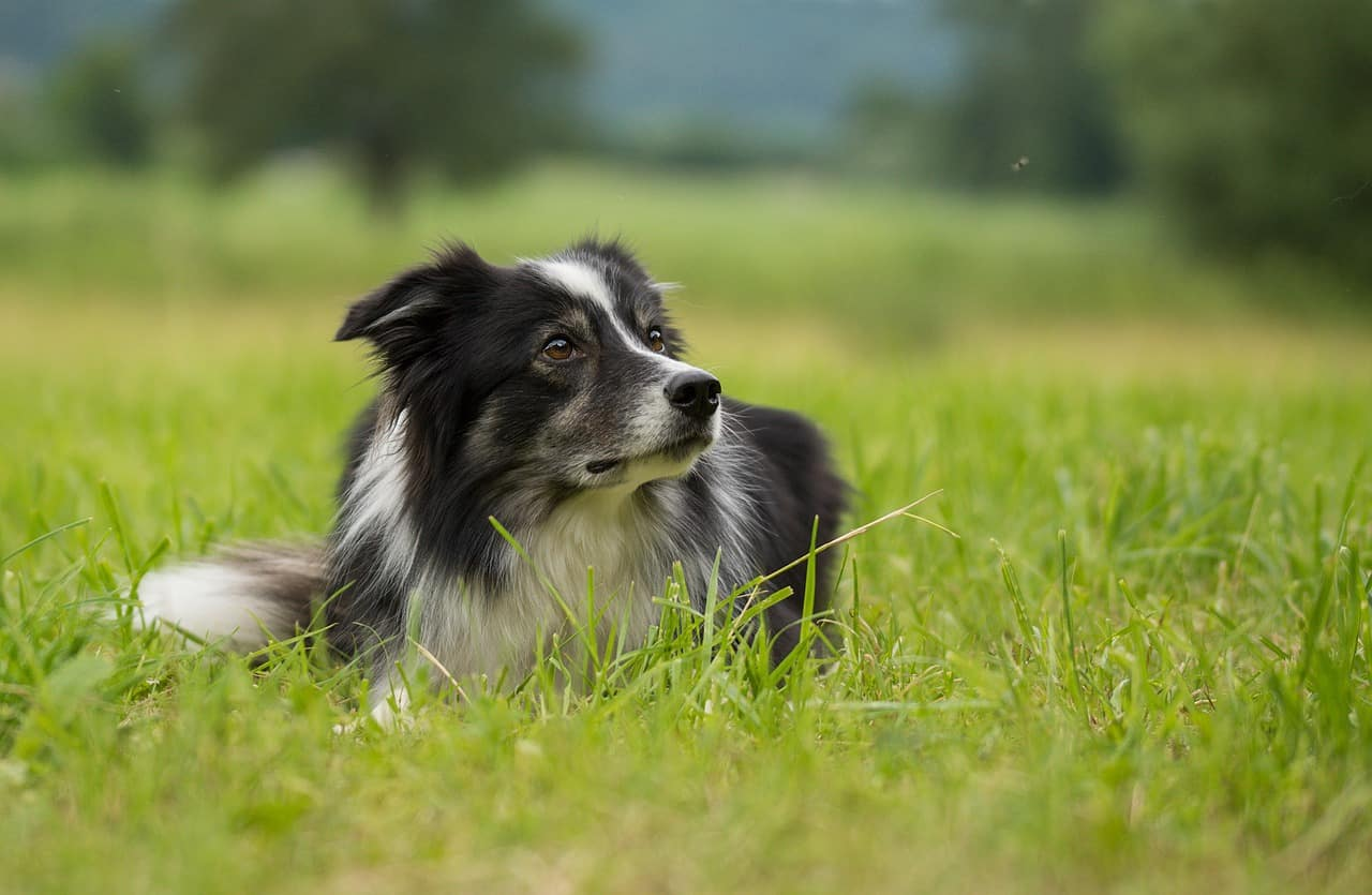 Border Collie resting on grass patch