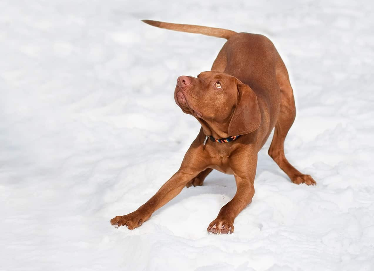 Picture of Vizsla on a snow patch