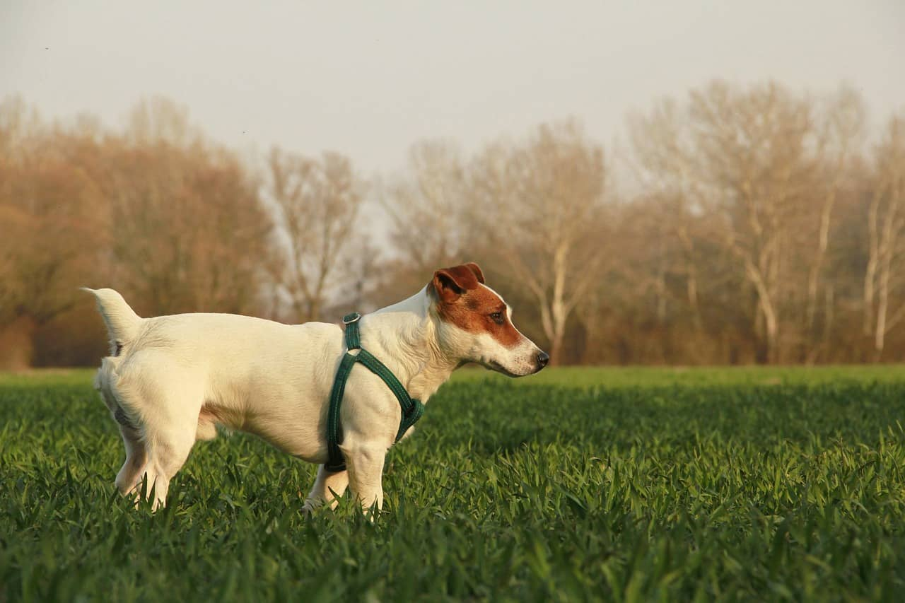 Picture of Jack Russell Terrier on a grass patch