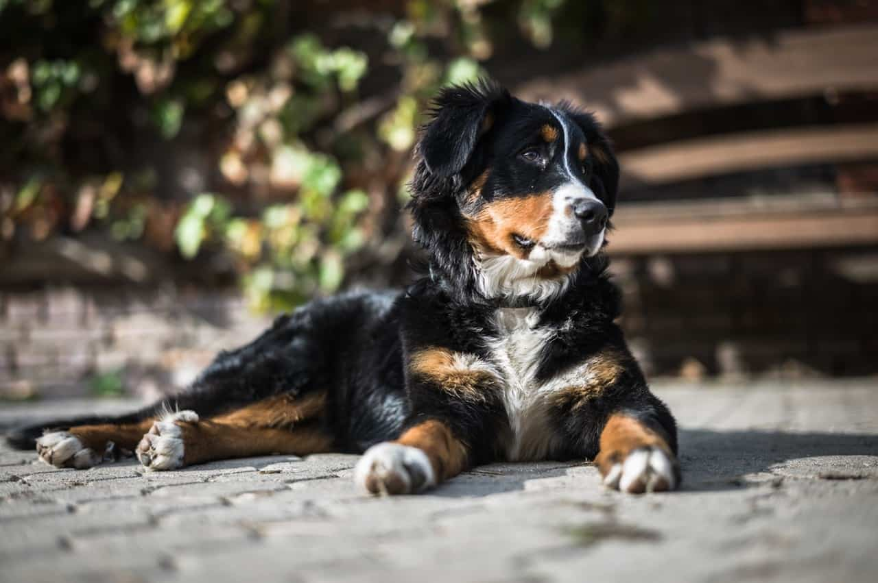 Picture of Bernese Mountain Dog relaxing on concrete pavement