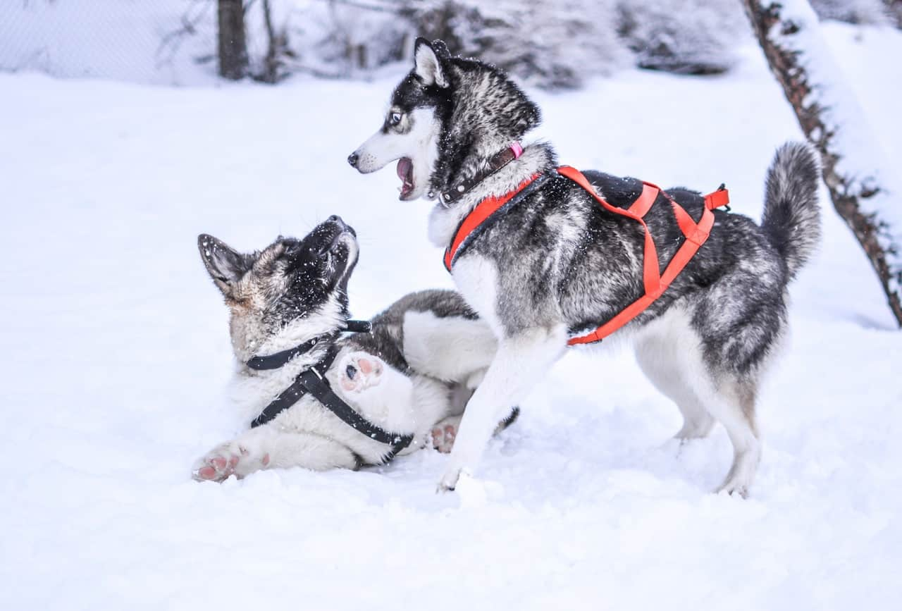 Siberian Huskies playing around in the snow