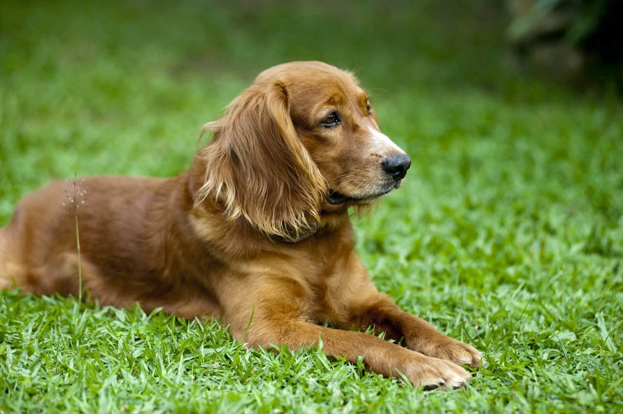 Picture of a Golden Retriever resting on grass