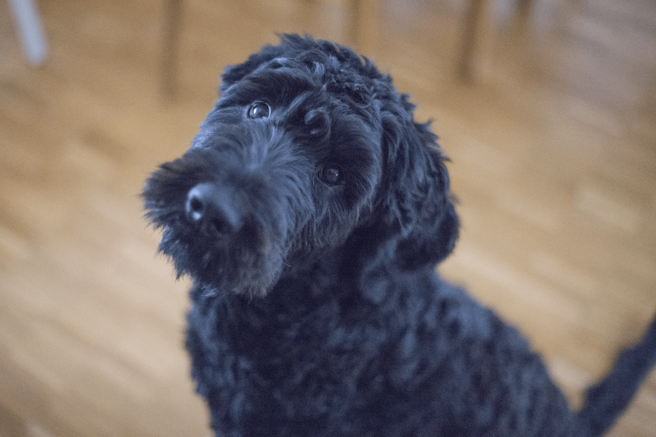 Picture of Portuguese Water Dog giving puppy eyes