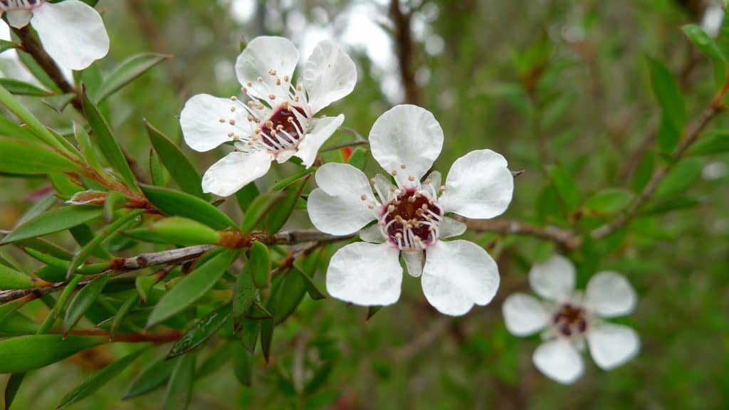Common Tea Tree Flower by John Tann