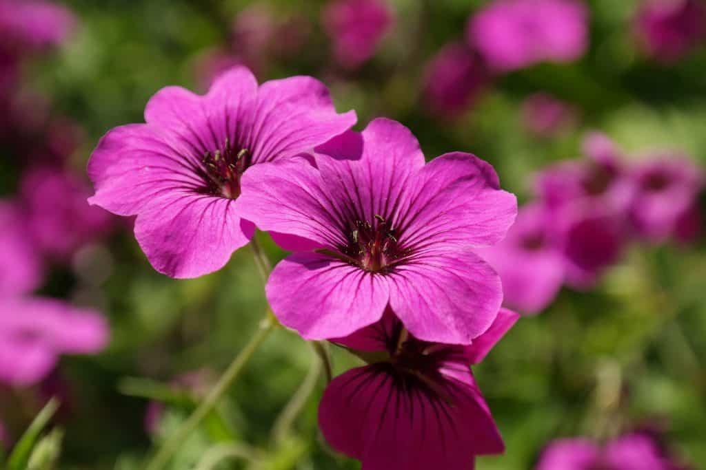 Geranium Flower in Full Bloom