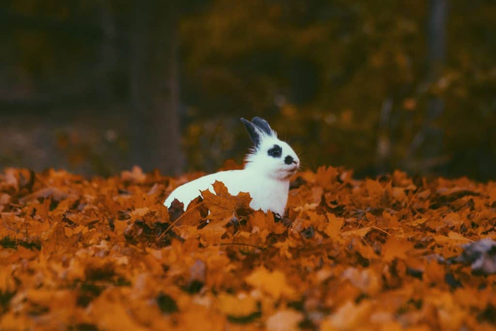 Rabbit stationary among autumn leaves