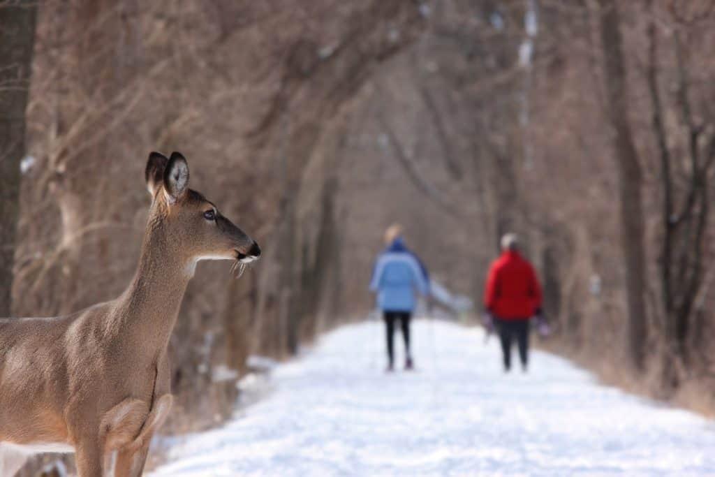 Deer overlooking a couple in winter