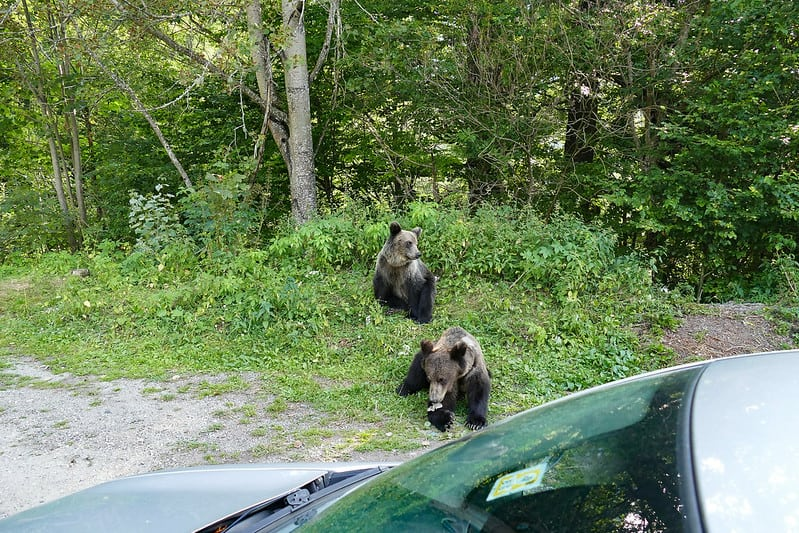 Bears loitering by the road