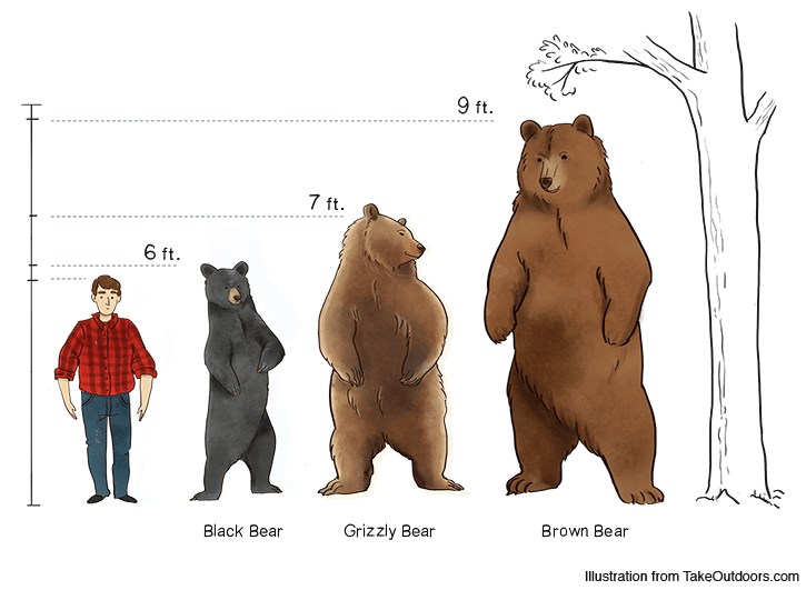 Comparison of Commonly Found Bears and Their Sizes